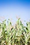 Groen gebied dat van graan groeit Stock Afbeeldingen