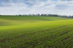 Groen gebied, landbouw jonge spruiten van tarwe, gerst Royalty-vrije Stock Foto's