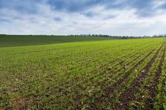 Groen gebied, landbouw jonge spruiten van tarwe, gerst Stock Fotografie