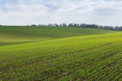 Groen gebied, landbouw jonge spruiten van tarwe, gerst Royalty-vrije Stock Afbeeldingen