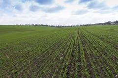 Groen gebied, landbouw jonge spruiten van tarwe, gerst Stock Afbeeldingen