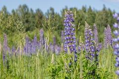 Groen gebied met blauwe lupines Macrobloemen en gras royalty-vrije stock afbeeldingen