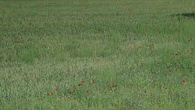 Groen gebied met een bos van rode bloemen stock videobeelden