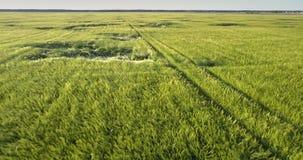 Groen gebied met gebogen tarwesegmenten tegen dicht bos stock videobeelden
