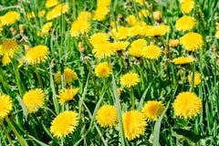 Groen gebied met gele bloeiende paardebloemen, de achtergrond van de close-upaard royalty-vrije stock afbeeldingen