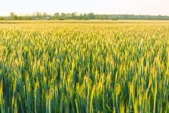 Groen gebied met oren van tarwe Royalty-vrije Stock Foto