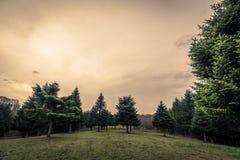 Groen gebied met pijnboombomen in de zonsondergang stock afbeeldingen