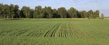 Groen gebied met zaailingen van graangewassen Stock Fotografie