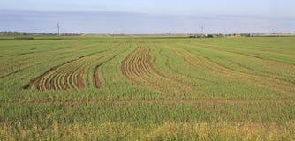 Groen gebied met zaailingen van graangewassen Royalty-vrije Stock Afbeeldingen