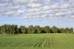 Groen gebied met zaailingen van graangewassen Stock Afbeelding