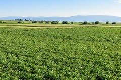 Groen gebied van aardappelgewassen op een rij Landbouw gebied royalty-vrije stock afbeelding
