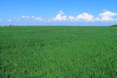 Groen gebied van graangewassen Stock Afbeelding