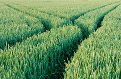 Groen gebied van tarwe Stock Afbeeldingen