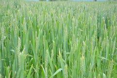 Groen gebied van tarwe Stock Foto's