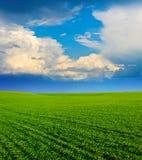 Groen Gebied van tarwe, blauwe hemel en zon, witte wolken. sprookjesland Royalty-vrije Stock Fotografie