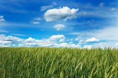 Groen gebied van tarwe met bewolkte blauwe hemel Royalty-vrije Stock Afbeeldingen