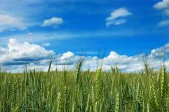Groen gebied van tarwe met bewolkte blauwe hemel Stock Foto