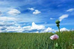 Groen gebied van tarwe met bewolkte blauwe hemel Royalty-vrije Stock Fotografie