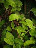 Groen gebladerte met regendalingen Stock Foto