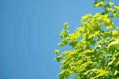 Groen gebladerte tegen blauwe hemel stock fotografie