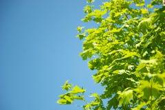 Groen gebladerte tegen blauwe hemel royalty-vrije stock afbeelding