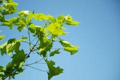 Groen gebladerte tegen blauwe hemel royalty-vrije stock afbeeldingen
