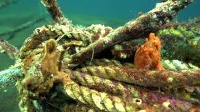 Groen-geel en Rode Warty anglerfish van de frogfishclown, Antennarius-maculatusin de kunstmatige koralenrobes in Zoeloes overzees