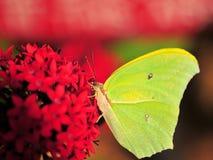 Groen-gele Vlinder Stock Afbeelding