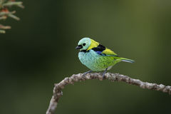 Groen-geleid tanager, Tangara seledon royalty-vrije stock afbeelding