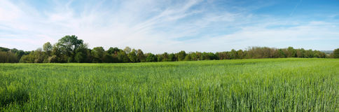 Groen gerst panoramisch gebied Stock Afbeelding