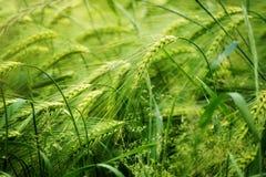 Groen gerstgebied, abstract aardconcept als achtergrond voor agric Royalty-vrije Stock Foto's
