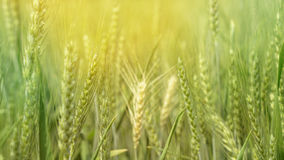 Groen gerstgebied, de landbouwlandbouwbedrijf van het korrel gezond voedsel stock afbeeldingen