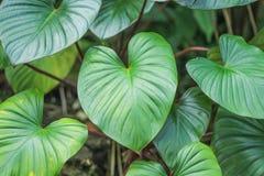 Groen gevormd die bladhart, Homalomena rubescens op witte achtergrond wordt geïsoleerd royalty-vrije stock afbeelding