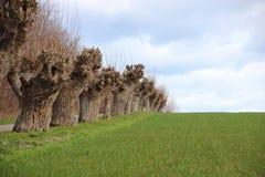 Groen Gewassengebied met Lijn van Oude Willow Trees Stock Foto's