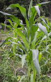 Groen graan, Stock Foto