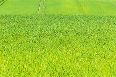 Groen graangewassengebied in de zomer Stock Fotografie
