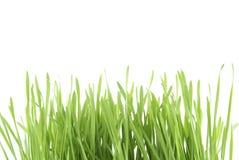 Groen Gras. Stock Afbeelding