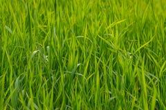 Groen gras als achtergrond Royalty-vrije Stock Afbeeldingen