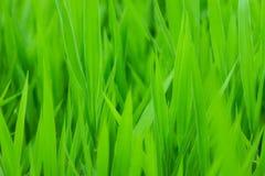 Groen gras backgorund Stock Fotografie