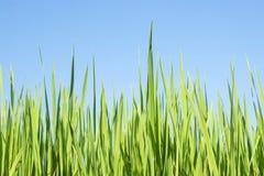 Groen gras, blauwe hemel Stock Foto