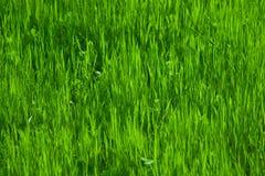 Groen gras in de lente Stock Foto