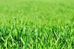Groen gras in de lente Stock Afbeelding