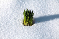 Groen gras in de sneeuw Stock Foto's