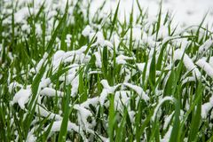 Groen gras in de sneeuw in de winter stock afbeeldingen