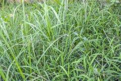 Groen gras in de tuin Royalty-vrije Stock Foto's