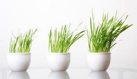 Groen gras in de witte pot Stock Afbeelding