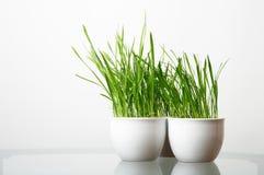 Groen gras in de witte pot Stock Afbeeldingen