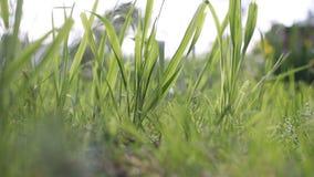 Groen gras in de zomer die in wind slingeren stock footage
