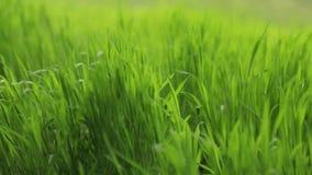 Groen gras die in de sterke wind slingeren Geen mensen rond Het buiten schieten, landschap De zomeratmosfeer Natuurlijke Macht stock footage