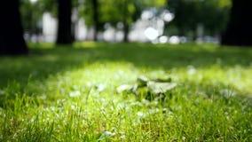 Groen gras die in de wind in de vage de zomerzon slingeren, stock videobeelden